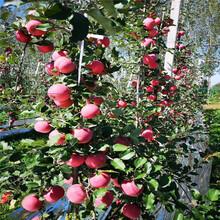 m26矮化蘋果苗品種特色介紹瑞陽蘋果苗現貨供應圖片