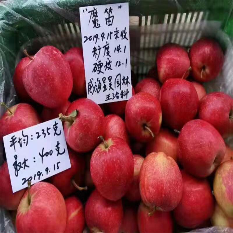 三公分蘋果樹基地報價 藤木1號蘋果苗現貨供應