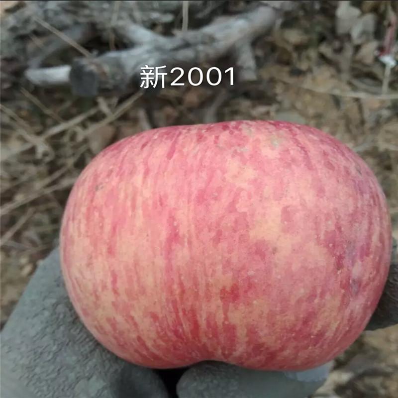 2020年山東蘋果苗成熟季節 新紅星蘋果苗基地報價