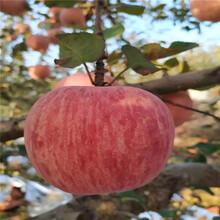 2020年山東蘋果苗價格及報價柱狀蘋果苗苗場電話圖片