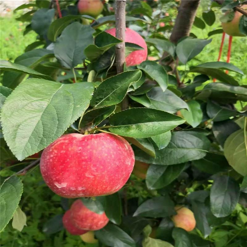 2020年山東蘋果苗多錢一棵 秦脆蘋果苗基地報價