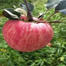 新品種蘋果苗基地報價柱狀蘋果苗現貨供應圖片