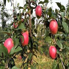 2020年山東蘋果苗品種特色介紹水蜜桃蘋果苗苗場電話圖片