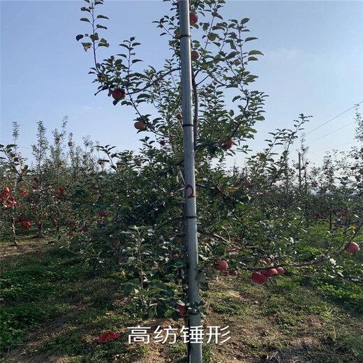 三公分苹果树一棵价钱花牛苹果苗批发基地