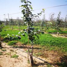 兩年生蘋果苗種植技術花牛蘋果苗苗場電話圖片