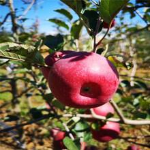 地徑一公分蘋果苗價格及報價柱狀蘋果苗批發基地圖片