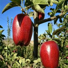 新品種蘋果苗批發價格眾成3號蘋果苗批發價格圖片