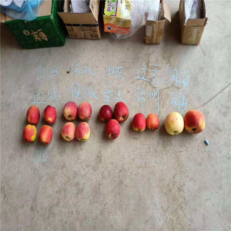 兩年生蘋果苗多錢一棵 煙富6蘋果苗現貨供應