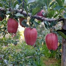 三公分蘋果樹基地報價紅肉蘋果苗批發價格圖片