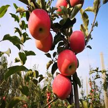 定植兩年的蘋果樹苗場電話黃元帥蘋果苗苗場電話圖片