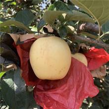 三公分蘋果樹一棵價錢美國8號蘋果苗苗場電話圖片
