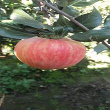 2020年山東蘋果苗種植技術瑞雪蘋果苗苗場電話圖片
