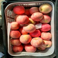 定植兩年的蘋果樹品種特色介紹瑞雪蘋果苗出售電話圖片
