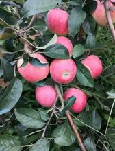 三公分蘋果樹出售價格響富蘋果苗出售價格圖片