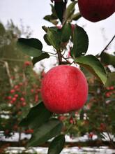 五公分大蘋果樹一棵價錢明月蘋果苗出售電話圖片