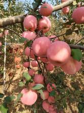 中間砧矮化蘋果苗成熟季節黃元帥蘋果苗多錢一棵圖片