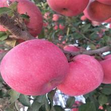 地徑一公分蘋果苗行情報價瑞陽蘋果苗行情報價圖片