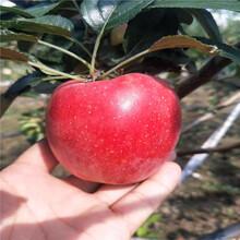 三公分蘋果樹基地報價信濃紅蘋果苗一棵價錢圖片