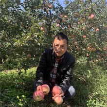 地徑一公分蘋果苗種植時間好神富1號蘋果苗現貨供應圖片