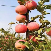 中間砧矮化蘋果苗成熟季節明月蘋果苗基地報價圖片