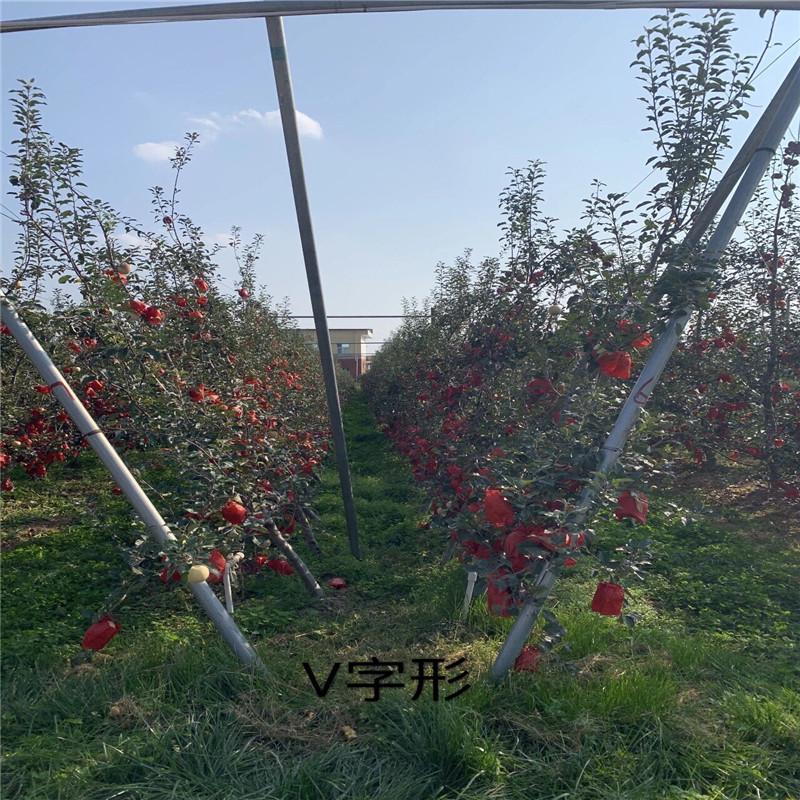 三公分蘋果樹價格及報價 柱狀蘋果苗苗場電話