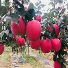 兩年生蘋果苗種植技術矮化蘋果苗現貨供應圖片