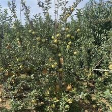 兩年生蘋果苗價格及報價瑞雪蘋果苗基地報價圖片