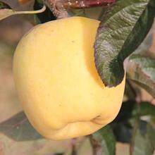 定植兩年的蘋果樹多錢一棵藤木1號蘋果苗批發價格圖片