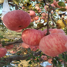 地徑一公分蘋果苗行情報價神富6號蘋果苗行情報價圖片