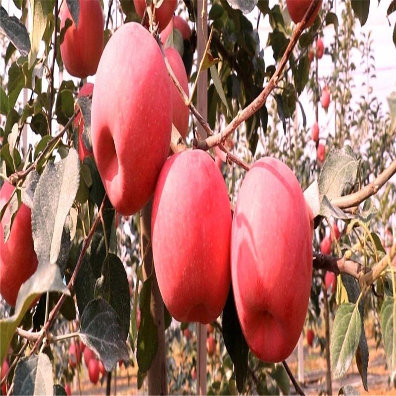 中間砧矮化蘋果苗成熟季節 矮化蘋果苗批發價格