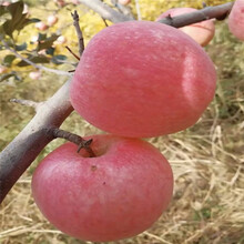 m26矮化蘋果苗批發價格紅肉蘋果苗現貨供應圖片