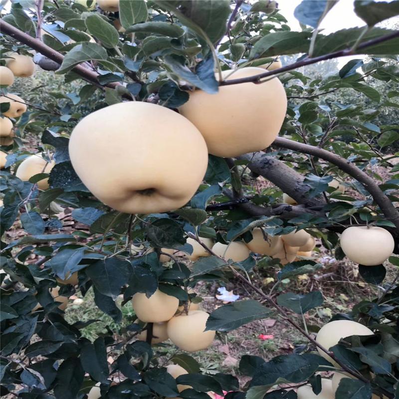 新品種蘋果苗多錢一棵 長富2號蘋果苗出售電話