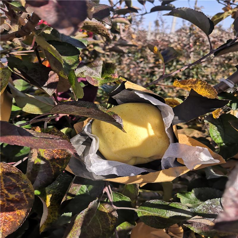 2020年山東蘋果苗成熟季節 維納斯黃金蘋果苗多錢一棵
