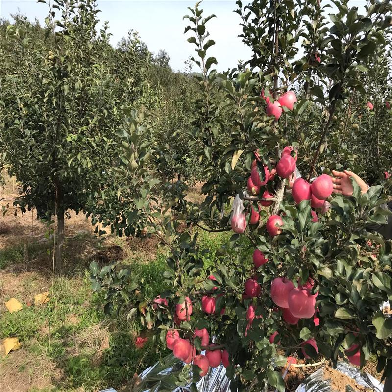 三公分蘋果樹成熟季節 瑞陽蘋果苗價格及報價