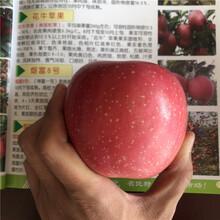 m26矮化蘋果苗基地報價紅將軍蘋果苗現貨供應圖片
