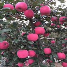 兩年生蘋果苗多錢一棵藤木1號蘋果苗多錢一棵圖片