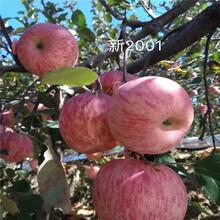 2020年山東蘋果苗種植技術眾成3號蘋果苗基地報價圖片