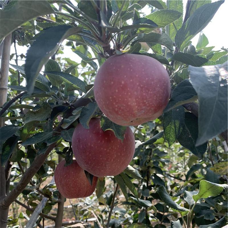 兩年生蘋果苗價格及報價 華碩蘋果苗批發價格