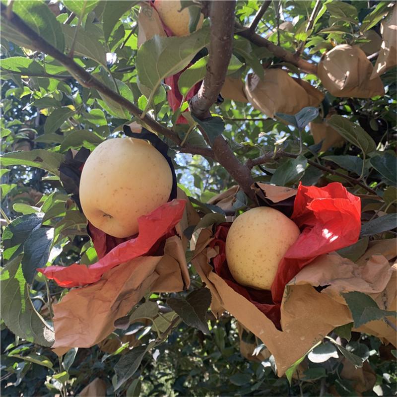 地徑一公分蘋果苗苗場電話 望鄉紅蘋果苗出售電話