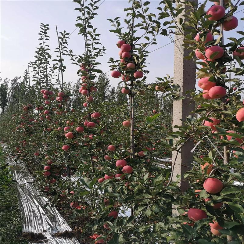 中間砧矮化蘋果苗基地報價 神富6號蘋果苗基地報價
