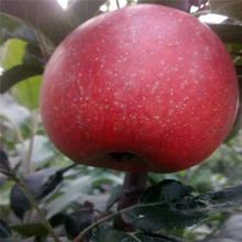兩年生蘋果苗行情報價神富6號蘋果苗行情報價圖片