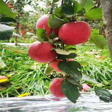 三公分蘋果樹種植技術國光蘋果苗批發價格圖片