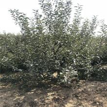 五公分大蘋果樹批發價格瑞香紅蘋果苗出售電話圖片