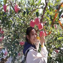 定植兩年的蘋果樹出售價格望鄉紅蘋果苗出售價格圖片