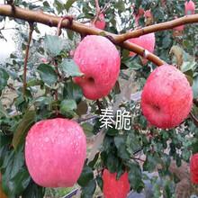 新品種蘋果苗種植技術維納斯黃金蘋果苗批發基地圖片