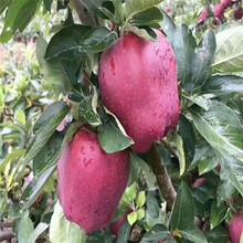 三公分蘋果樹多錢一棵藤木1號蘋果苗多錢一棵圖片