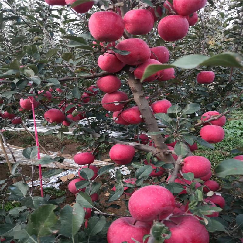 地徑一公分蘋果苗成熟季節 紅富士蘋果苗價格及報價