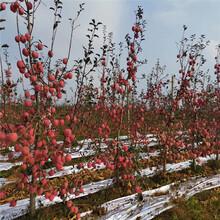 中間砧矮化蘋果苗價格及報價新紅星蘋果苗一棵價錢圖片