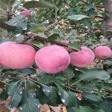 新品種蘋果苗批發價格柱狀蘋果苗現貨供應圖片