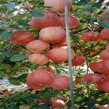 地徑一公分蘋果苗行情報價紅蛇果蘋果苗行情報價圖片